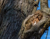 Owl Just Have a Short Nap – Camouflage, Eastern Screech Owl, Red Morph, Night Hunter, Nocturnal