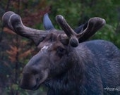 Old bull moose - algonquin park, fine art photography, wildlife, moose, wildlife photography, quality print