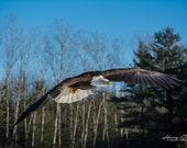 The Majestic Bald Eagle | Fine Art Print, Bald Eagle, Bald Eagle Photography, Wildlife Photography, Eagle Art, Majestic Bald Eagle