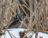 Northern Hawk Owl | The Northern Hawk Owl Is a Medium Sized Owl, Living Mainly in the Northern Latitudes.