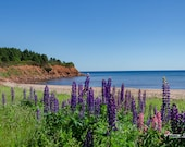 The Beauty of PEI – Fine Art Print, North Rustico, PEI, Landscape Photography, Lupins, Fishing Town, Red Dirt, Beach