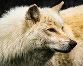 Intense – Western Timber Wolf, Fine Art Photography, Wildlife Photography, Wolf, Wolves, Wolf Pack