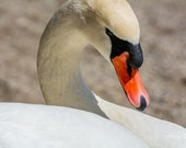 Mute Swan | Fine Art Photography, Mute Swan Relaxing in the Sunshine.