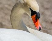 Mute Swan | Fine Art Photography, Mute Swan Relaxing in the Sunshine.