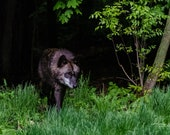 Out of the Shadows – Western Timber Wolf, Fine Art Photography, Wildlife Photography, Wolf, Wolves, Wolf Pack