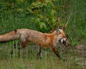 Fast Food – Red Fox, Fine Art Photography, Wildlife Photography, Fox, Fox Kit, Hunting
