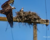 Osprey Fly-by – Fine Art Print, Osprey, Osprey Photography, Wildlife Photography