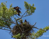 Adult Bald Eagle Comes Back to the Nest to Care for the Young | Fine Art Print, Bald Eagle, Bald Eagle Photography, Eagle Photography