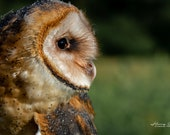 Barn Owl – Endangered, Nocturnal Hunter, Hunts in Grasslands, Grasslands Are Getting Paved Over