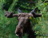 Moose With Attitude – Algonquin Park, Fine Art Photography, Wildlife, Moose, Wildlife Photography, Quality Print, Algonquin