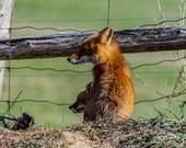 Someday, Son…All This Will Be Yours   Red Fox Kit, Fine Art Photography, Wildlife Photography, Fox, Fox Kit