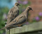 Mourning Doves – Mournful Cooing, Turtle Dove, Wildlife Photography, Birding, Bird Photography, Fine Art, Bird Art