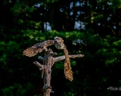 Great Horned Owl | A Nocturnal Hunter, One of the Largest Owls in the World, Has Distinctive Bright Yellow Colored Eyes