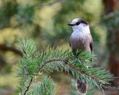 Grey Jay – Also Known As Canada Jay, Gray Jay, Camp Robber or Whiskey Jack.