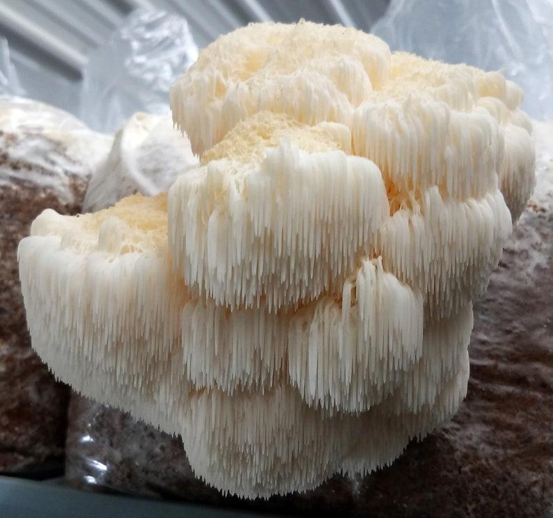 Lion's Mane Mushroom Culture image 0