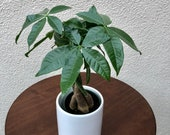 Pachira Aquatica quot Money Tree quot Live Plant