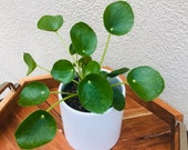 Pilea peperomioides-Chinese Money Plant-Live Indoor Plant-Large Chinese Coin Plant-Rare House Plant-Dorm- Succulent