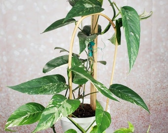 Epipremnum Pinnatum Variegata Albo Variegated Unrooted CUTTING - One Leaf Cutting No Roots+ Free Shipping - Small UNROOTED Cutting