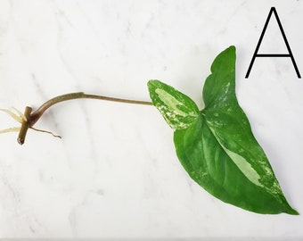 Syngonium Albo Variegated Baby Plant Cutting  (UnRooted Cutting) Rare  + Free Shipping Small