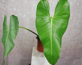 Large Size Rare Philodendron Sagittifolium - Plant Rooted Top CUTTING + Free Shipping - Unrooted