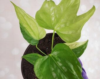 Ultra Rare Anthurium Pedatoradiatum Pedato Radiatum SPORT Variegated Plant  - Imperfect Leaves - Variegata + Free Shipping