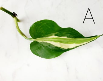 Philodendron Cream Splash Plant Cuttings - Free Shipping - Small UnRooted Plant Cutting Philodendron Silver Stripe No Roots