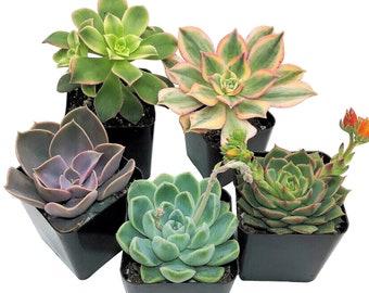 "5-PACK Succulent Plants, 2"" Assorted Potted Succulents"