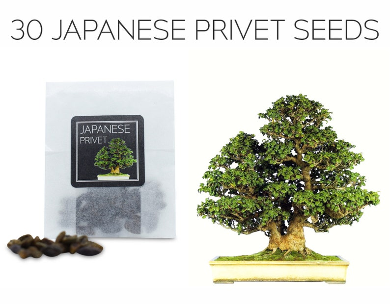 30 Japanese Privet Seeds Grow Your Own Bonsai Tree Etsy