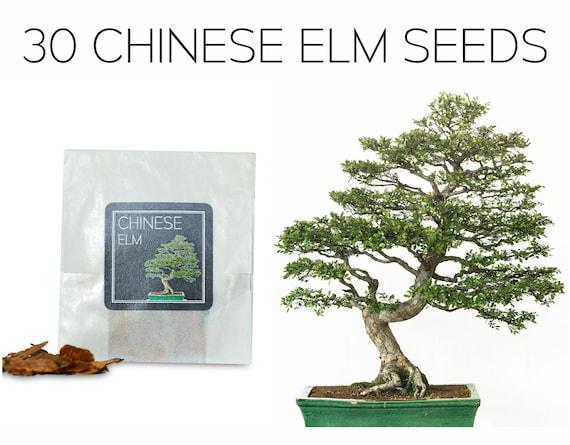 30 Chinese Elm Bonsai Seeds Grow Your Own Bonsai Tree Etsy
