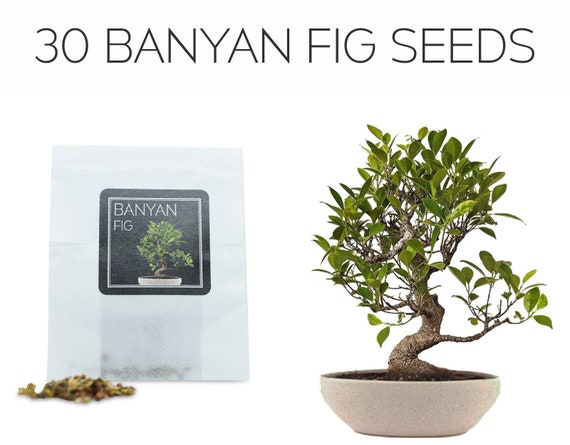 Growing Guide Perfect for Bonsai Beginners and Enthusiasts 30 Weeping Fig Bonsai Seeds Grow Your Own Bonsai Tree Ficus Benjamina