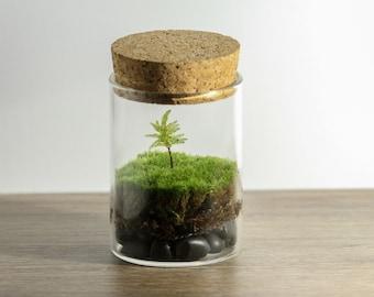 DIY Live Moss Mini Terrarium Kit - Tree Climacium Moss - Do It Yourself Kit - Live Plant Terrarium - Desktop Zen Garden - Corporate Gift