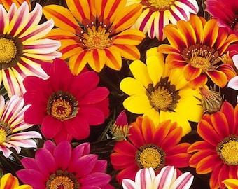 VERY LARGE FLOWERED STRAINS 150 seeds GAZANIA MIX  Gazania splendens hybrida