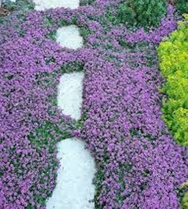 1000 Seeds Creeping Thyme Ground Cover, Creeping Jenny Ground Cover Seeds