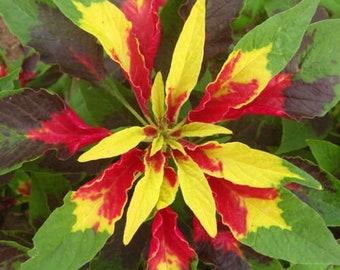 Rare Amaranthus Mira Annual approx 50 seeds  UK SELLER