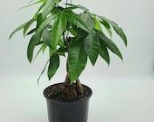 RARE Large Braided Money tree in 6 inch Pot Bring Luck Pachira Houseplant Bonsai