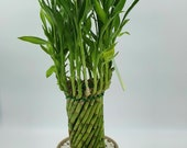 Lucky Bamboo Tower 21 Stems measuring 24.5 inches tall Positive Energy Home or Office