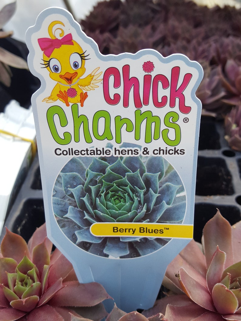Chick Charms  BERRY BLUES  Sempervivum Live Succulent Plant Perennial