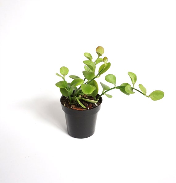 Dischidia Oiantha - Green Dischidia Oiantha