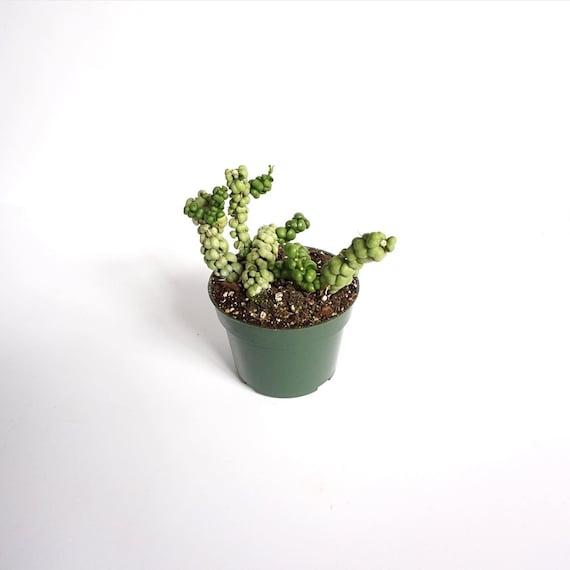 "Dischidia Nummularia 'Ideaminubu' - Dragon Jade - 4"" Pot"