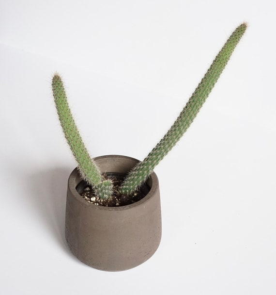 Camila- Cacti Plant