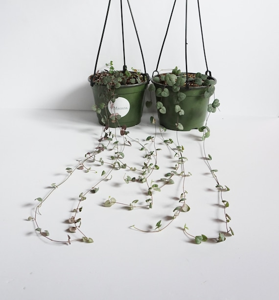 Ceropegia woodii - string of hearts- million hearts