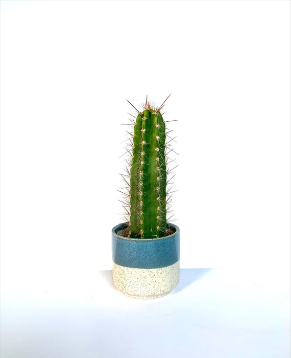 Patricia Cacti Plant