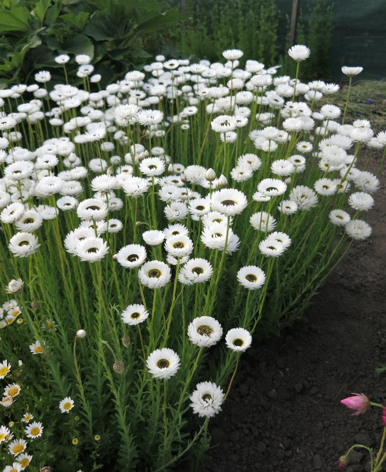 40 Pierrot white paper daisy seeds
