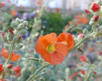 50 seeds--Munro's Globemallow--Sphaeralcea munroana