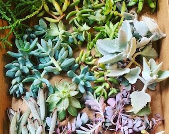 Succulents for Propagation, Succulent Cuttings, Succulent Leaves,  DIY Succulent, Rare Succulents, Echeveria, Crassula, Sedum, Kalanchoe..