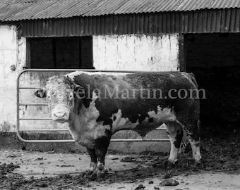 Black and White photograph Irish Hereford bull, Ireland, County Waterford, Hereford cattle, Spring time for Gerry