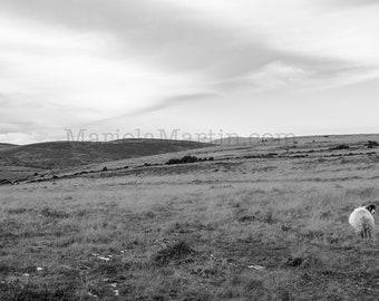 Black and White Photograph of Irish Sheep, Sheep Ireland, County Tipperary