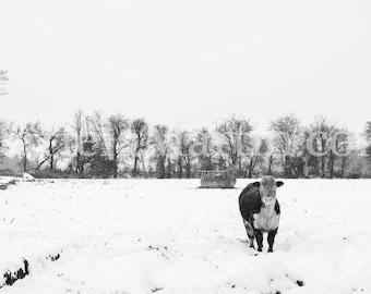 Irish Hereford Bull, Black and White Photograph of a Irish Hereford Bull, Hereford cattle, Hereford bull Ireland