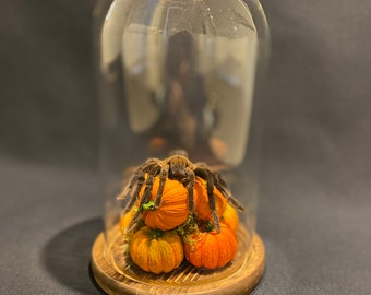 Spider Tarantula Asian Bird eating with pumpkins in a glass dome