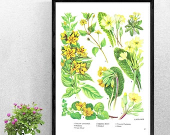 THE COWSLIP PRINT A4A3 FramedUnframed Vintage Lithography from 1807